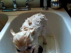 killing Fleas with my HOMEMADE SOAP made with Cedar Wood and Tea Tree Essential Oil. see my dog gets a bath and how the soap works...