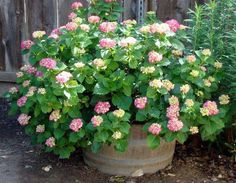 i want to plant pink hydrangea's in these whiskey barrels