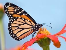 Add a butterfly garden with the few easy steps in this HGTV guide to building the perfect butterfly habitat.