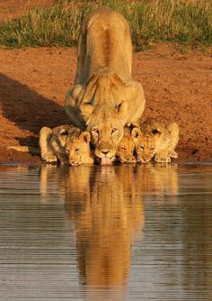 Lioness and cubs / - animals - big cats - nature - Earth - Wildlife Beautiful Cats, Animals Beautiful, Beautiful Family, Beautiful Creatures, Animals Amazing, Wonderful Picture, Simply Beautiful, Beautiful World, Big Cats