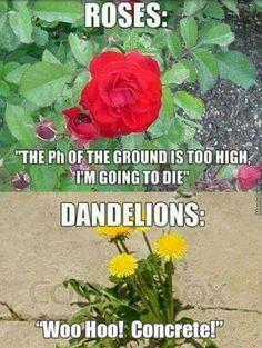 "Dandelions ""Woo Hoo! Concrete!"""