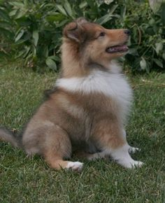 Collie pup... so stinkin CUTE
