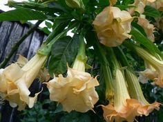 Brugmansia Hazelnut Buttercup  by Patricia Watson