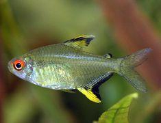 ปลาเลมอน เตตร้า Lemon Tetra