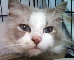Tony is an adoptable Ragdoll Cat in Statesboro, GA. Tony is a gorgeous male Ragdoll cat--six years old, neutered, front feet declawed. He is very laid back and wants nothing more than to be rubbed and...
