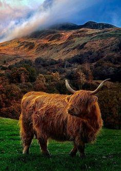 "legendary-scholar: ""Trossachs, Scotland - by Kevin Rankin "" Scottish Highland Cow, Highland Cattle, Scottish Highlands, Pretty Animals, Animals Beautiful, Cute Animals, Highland Cow Painting, Highland Cow Art, Fluffy Cows"