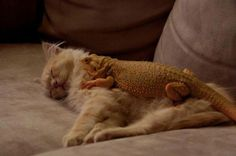 A Lizard on the cat !!!..so unusual friends,for sure love is love !