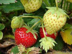 Kdy a jak sázet jahody Pergola, Strawberry, Fruit, Garden, Food, Garten, Outdoor Pergola, Lawn And Garden, Essen