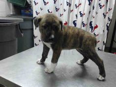 This DOG - ID#A463150 - located at Harris County Animal Shelter in Houston, Texas - 9 WEEK OLD Female Pit Bull Terrier - at the shelter since July 05, 2016.