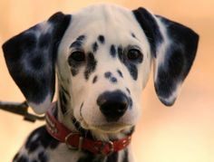Dalmatian.  This picture makes me want a new baby; then, my brain kicks in and says don't mess with a good thing - SarahAnn is 5!