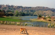 Tiger Crisis and Conservation: A Trip to Ranthambore National Park India :: A tour to Ranthambore guarantees you the opportunity to see the mighty Indian tiger at one of its primary natural habitats in India.