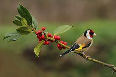 Beautiful Birds, Animals Beautiful, Munier, Goldfinch, Rare Animals, Wildlife, Poster, Watercolor, Retro