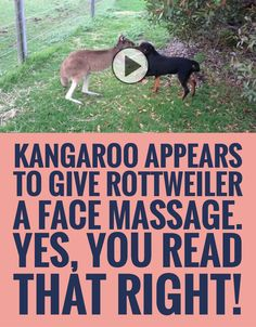 Kangaroo Appears To Give Rottweiler A Face Massage... Yes, You Read That Right!