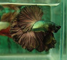 Copper gold feathertail betta fish...I want one like this to put into my candy dispenser fish bowl...He is GORGEOUS!!!!