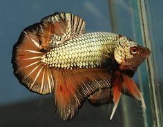 Some interesting betta fish facts. Betta fish are small fresh water fish that are part of the Osphronemidae family. Betta fish come in about 65 species too! Betta Fish Types, Betta Fish Tank, Beta Fish, Beta Beta, Colorful Fish, Tropical Fish, Fish Gallery, Freshwater Aquarium Fish, Siamese Fighting Fish
