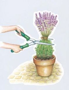 Cutting lavender – my beautiful garden; pruning after flowering; in the … – Garten – Gardening Planting Flowers, Herbs, Plants, Diy Garden Projects, Herb Garden, Perennials, Garden Landscaping, Beautiful Gardens, Potted Lavender