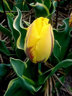 Tulip Ravana is a new breed of Tulip Princess Irene. Bright yellow blooms with orange flames. Buy top-size tulip flower bulbs at wholesale pricing!