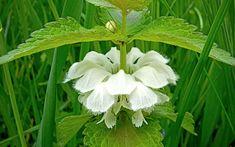Planta care vindecă afecțiunile genitale. Efectele sale sunt miraculoase Varicose Veins, Plant