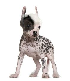 Chinese Hairless Crested Dog
