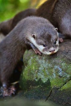 Welcome back, otter: Yeah, we tease him a lot when he's leaning on a rock. Welcome back, welcome back, welcome back, welcome back ... (A short-clawed otter pup leaves its den and greets its public at the Edinburgh Zoo.) Photo: Jeff J Mitchell, Getty Images / SF
