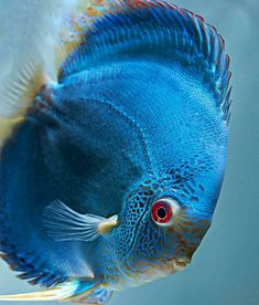 A beautiful blue fish