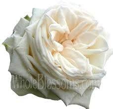 white garden roses - Google Search