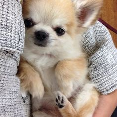 Effective Potty Training Chihuahua Consistency Is Key Ideas. Brilliant Potty Training Chihuahua Consistency Is Key Ideas. Chihuahua Love, Chihuahua Puppies, Cute Puppies, Cute Dogs, Pomeranian Dogs, Animals And Pets, Baby Animals, Cute Animals, Gato Animal