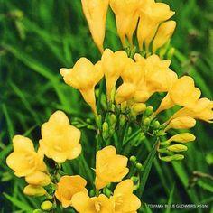 フリージア 黄