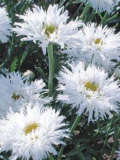 """algiai"" for a white garden"