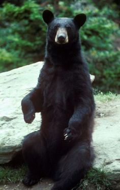 Black Bear. I was coming home from Charlottesville yesterday on a fairly deserted stretch of the interstate when a black bear suddenly ran right out in front of me. I was swerving all over the place and thankfully i missed him. I'm so thankful i didn't hit him...he was so beautiful.