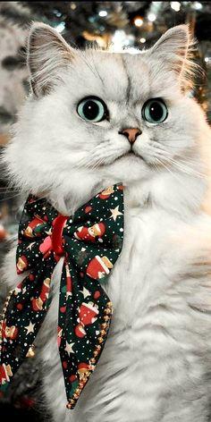 Beautiful Cats, Animals Beautiful, Cute Animals, Christmas Animals, Christmas Cats, Kittens Cutest, Cats And Kittens, Kitty Cats, Kinds Of Cats
