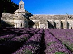 Lavender fields in France.  Seems like a great place to have a picnic and read a book.