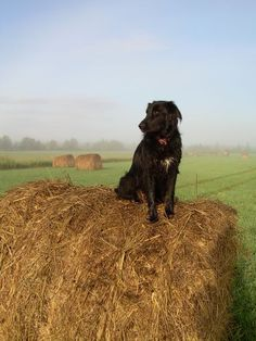 Country dog on a haystack