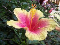 Hawaiian flower- want it in blue and purple
