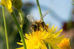 Mehiläinen, Kerää Hunaja, Keltainen, Kukka, Hyönteinen