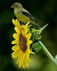 Goldfinch on Sunflower love birds and flowers Pretty Birds, Love Birds, Beautiful Birds, Backyard Birds, Little Birds, Small Birds, Colorful Birds, Tropical Birds, Bird Watching