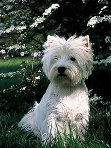 West Highland White Terrier - Wikipedia, the free encyclopedia