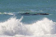 Baleias no Morro das Pedras - Florianópolis - Brasil 31.07.2015 - Foto Eduardo Valente-51