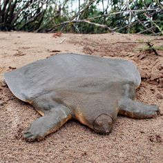 Cantor's Softshell Turtle is a freshwater turtle, native to Cambodia,  which can grow up to 6 feet in length. It spends 95 percent of its life buried and motionless in the sand surfacing twice a day to take a breath. #Turtle #Softshell_Turtle