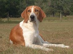 Discover and share Walker Coonhound Dog Quotes. Cute Puppies, Dogs And Puppies, Doggies, Walker Hound, Dog Breeds Pictures, Treeing Walker Coonhound, Spaniel Puppies, The Fox And The Hound, Large Dog Breeds