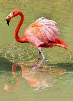 Flamingo Poster featuring the photograph All Ruffled Up by Kristin Elmquist Flamingo Painting, Flamingo Art, Pink Flamingos, Tropical Birds, Colorful Birds, Exotic Birds, Flamingo Pictures, Flamingo Photo, Pink Bird