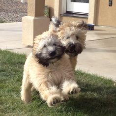 My soft coated wheaten terriers - Sully and Buster