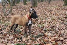 Fawn cane corso puppy female, 3 months old Rihanna z Machova Kraje Pia Fidelis Kennel