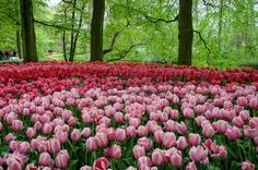 beautiful tulip in spring garden