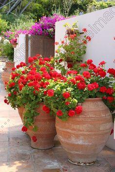 Scarlet geraniums in huge terracotta pots and dazzling pink bougainvillea