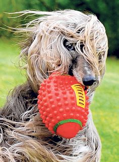 Afghan hounds like a 'picture in motion'