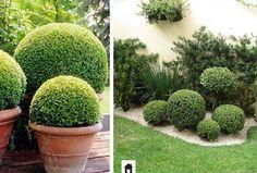 Buxinho, conheça esta e mais 25 plantas resistentes ao sol.