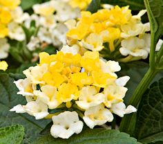 Lantana Lucky™ Lemon Glow White florets in these bicolor blooms add a fresh delicacy to the hot yellow tones. This new entry in the Lucky™ series provides a glowing, summer-long show on upright, mounding plants that are sized for smaller gardens and containers, and bred to handle the stresses of heat and humidity. Balucemlow