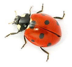 Ladybirds are flying insects, have beautiful rounded wings, they are not crawling bugs. Flying Insects, Bugs And Insects, Lady Bug Tattoo, Ladybug Art, Tattoo Images, Painted Rocks, Art Reference, Wildlife, Cute Animals