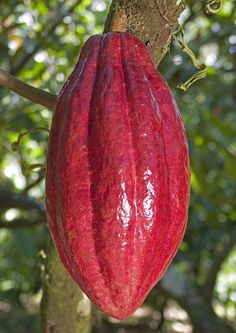 seed dry cocoa pods start to peak
